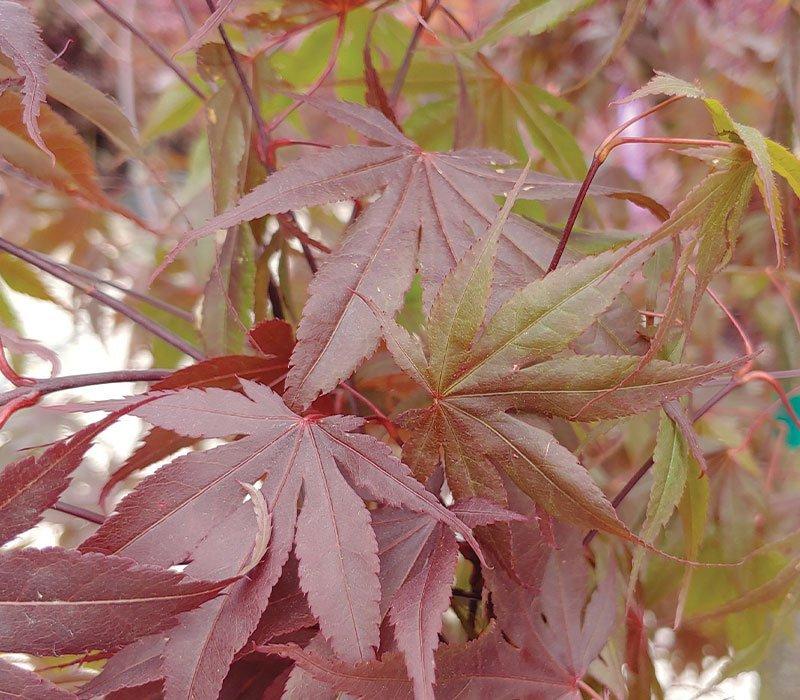 acer palmatum bloodgood japanese maple ftimg