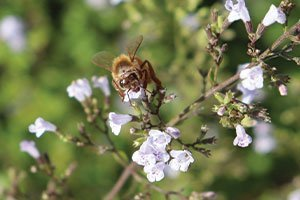 montrose white catmint calamintha nepeta catalog