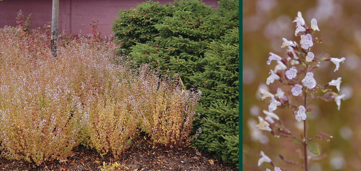 montrose white calamint calamintha nepeta fall blooming plant autumn color