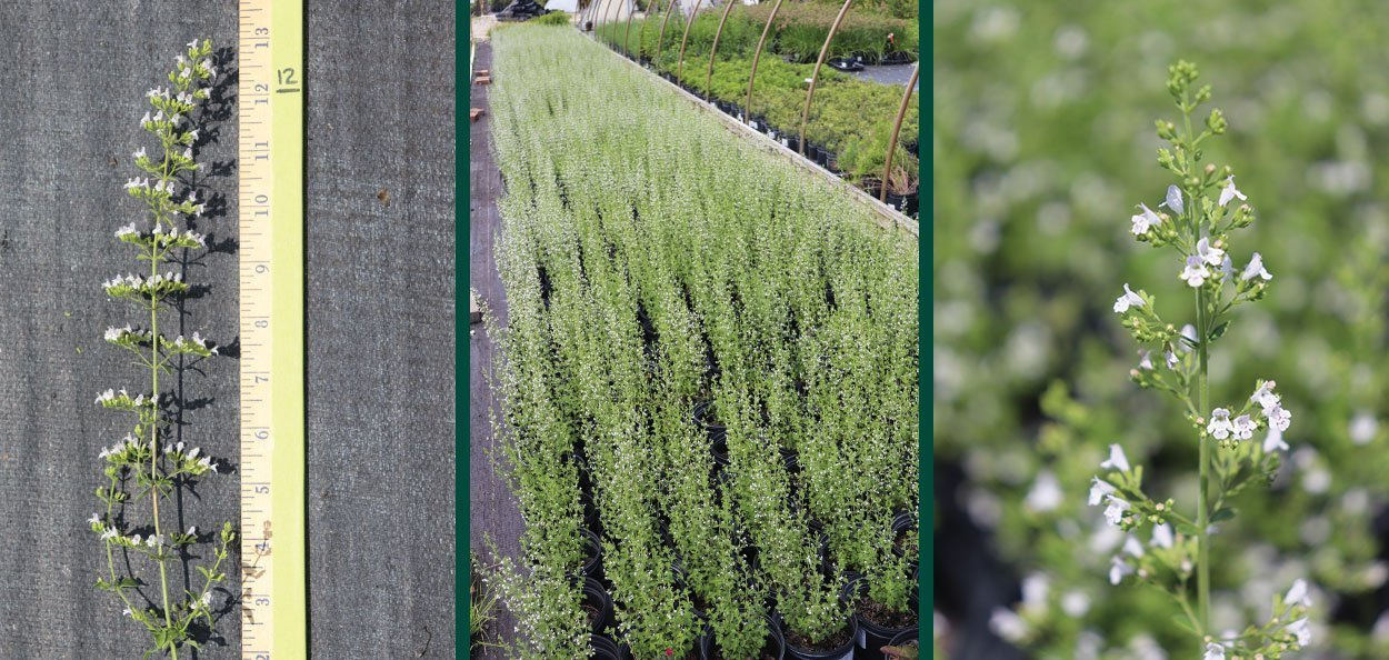 montrose white catmint calamintha nepeta for sale near you in milwaukee