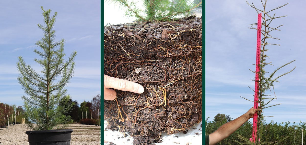 tamarack larix laricina eastern larch american larch rootmaker roots fast grow