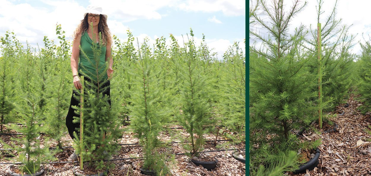 tamarack larix laricinal larch 5 gallon rootmakers newly salable vanessa