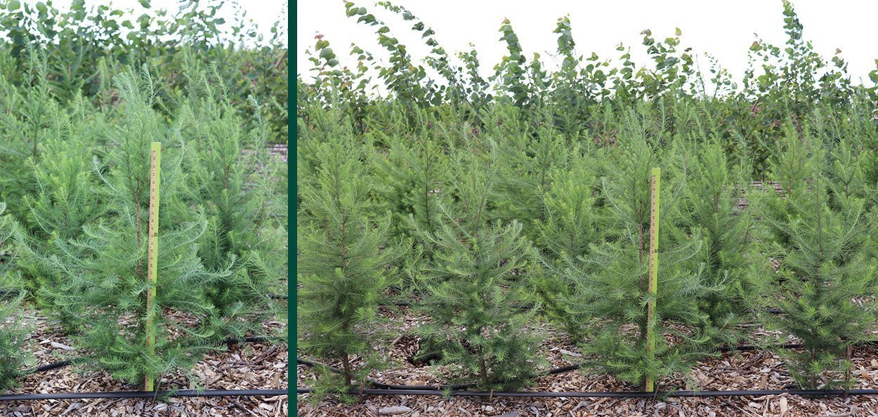 tamarack larix laricinal larch 5 gallon rootmakers newly salable
