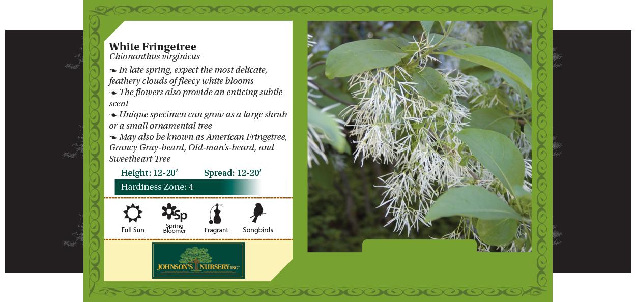 white fringetree, american fringetree, grancy gray-beard, old-man's-beard, sweetheart tree chionanthus virginicus benchcard