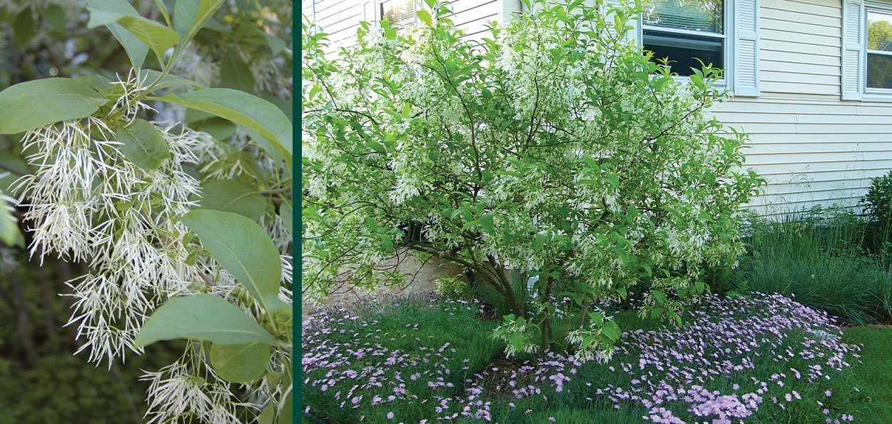 white fringetree chionanthus virginicus flowering white lacy flowers in landscape tree