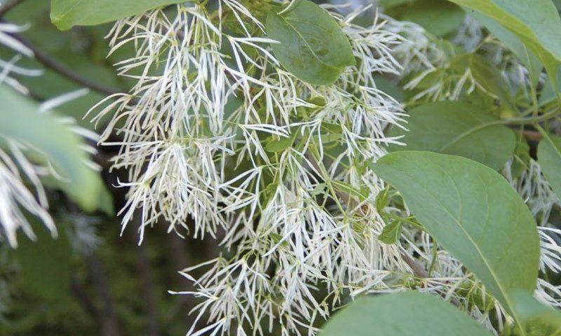 white fringetree chionanthus virginicus ftimg