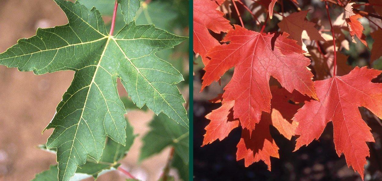 autumn fantasy maple acer freemanii at johnson's nursery menomonee falls wisconsin