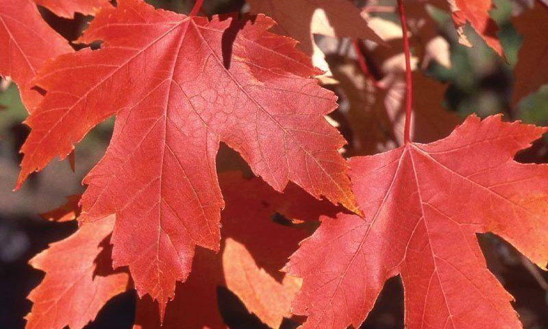 autumn fantasy maple acer freemanii fall red fall color tree ftimg