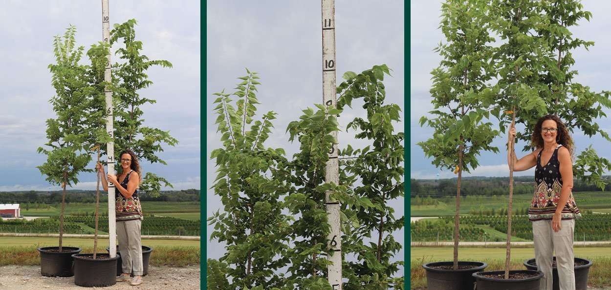 celtis occidentalis hackberry #20 container trees at johnson's nursery in wisconsin
