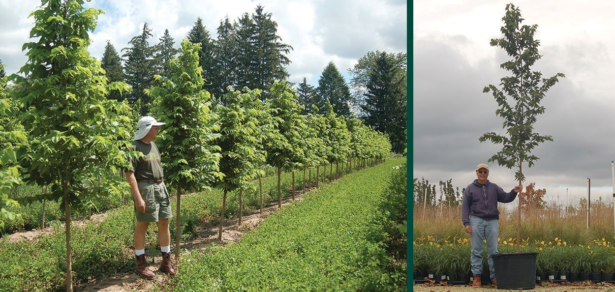 celtis occidentalis hackberry #25 container and field grown B&B trees trees at johnson's nursery in wisconsin
