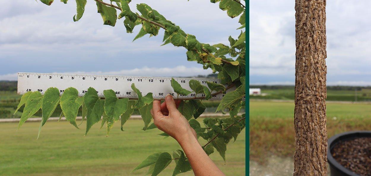 celtis occidentalis hackberry at johnson's nursery new growth and bark