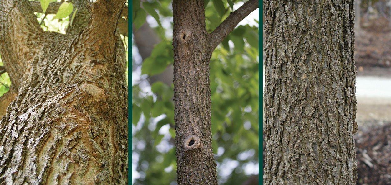 corky bark on celtis occidentalis hackberry wisconsin native trees