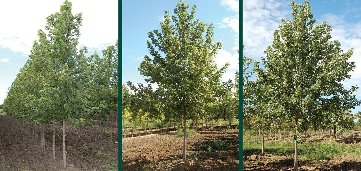 field grown large autumn fantasy maple acer freemanii at johnson's nursery trees