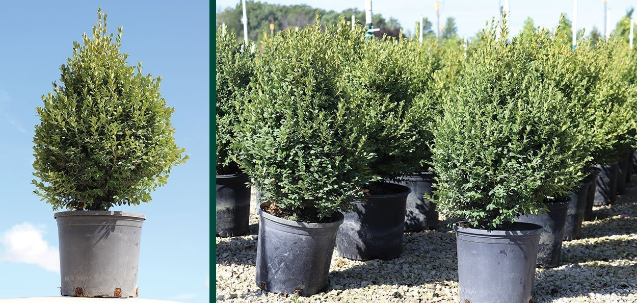 green mountain boxwood buxus