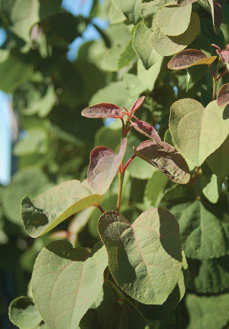 katsura tree cercidiphyllum japonicum johnson's nursery menomonee falls wisconsin ftimg