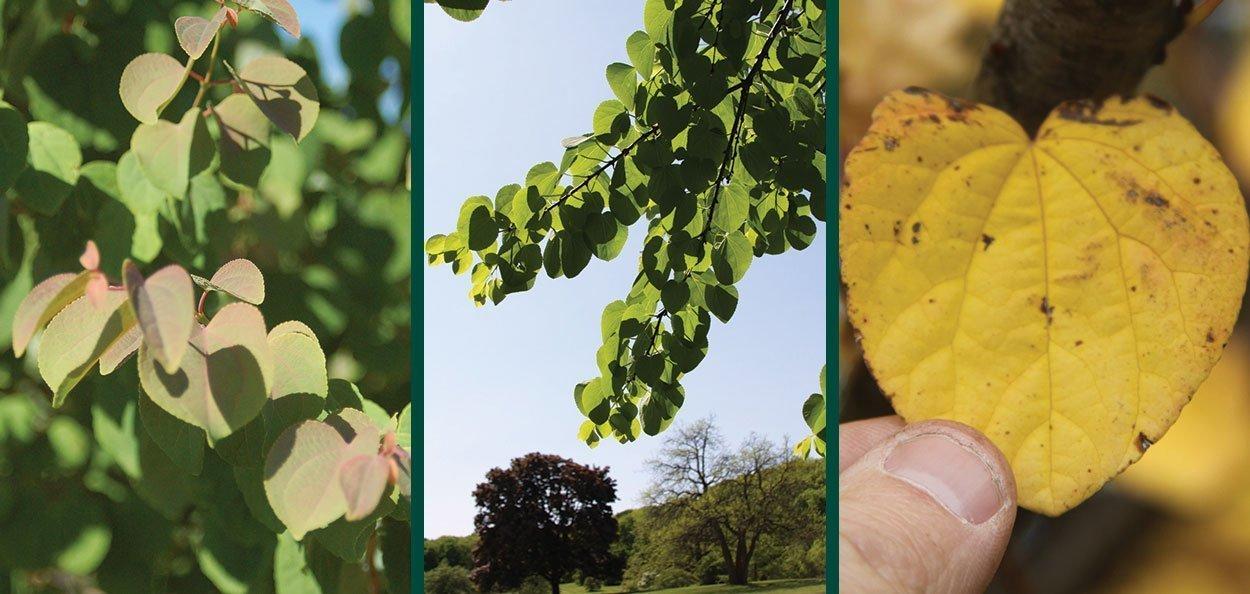 katsura tree cercidiphyllum japonicum johnson's nursery menomonee falls wisconsin leaf aging