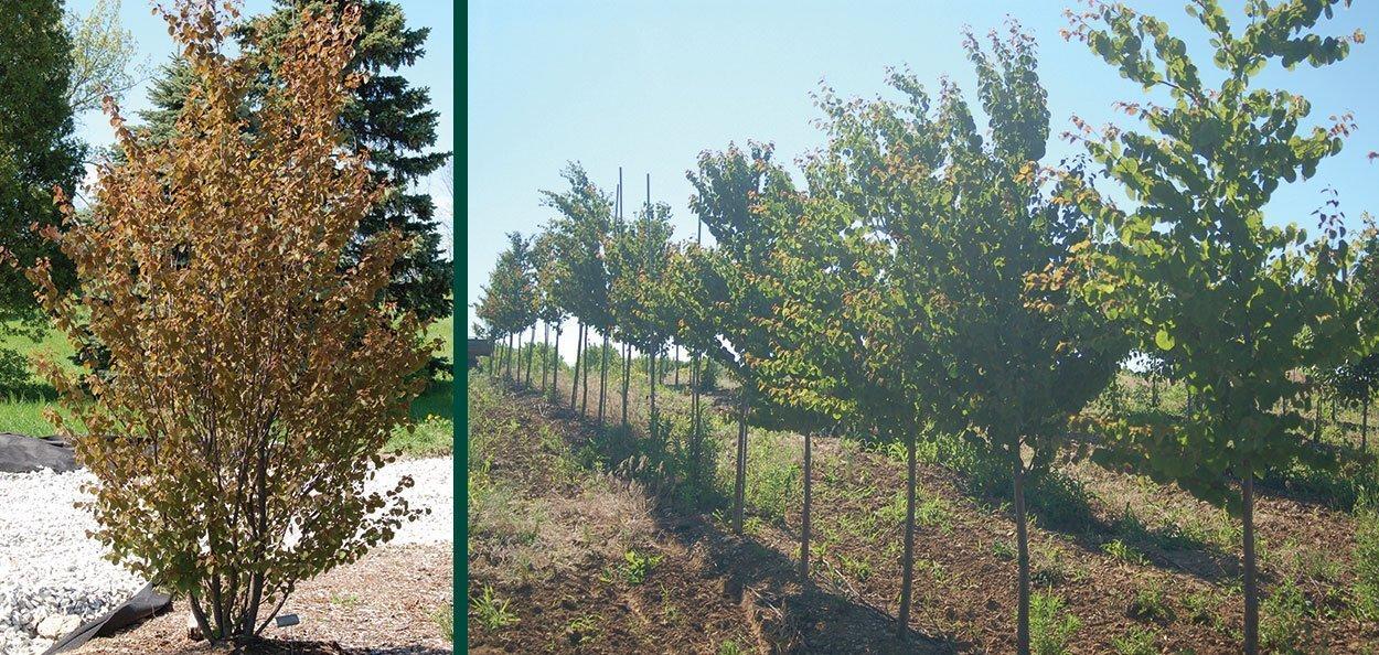 katsura tree cercidiphyllum japonicum johnson's nursery menomonee falls wisconsin single multi stem