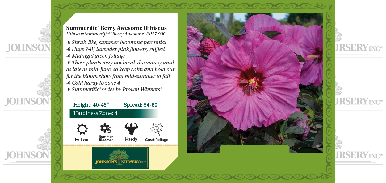 berry awesome hibiscus summerific dinner plate rose mallow benchcard