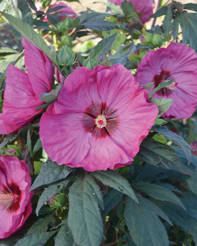 berry awesome hibiscus summerific dinner plate rose mallow ftimg