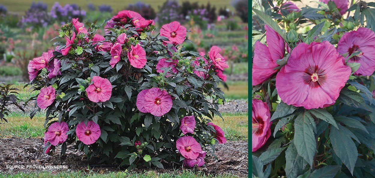 berry awesome hibiscus summerific dinner plate rose mallow large pink flower shrub perennial