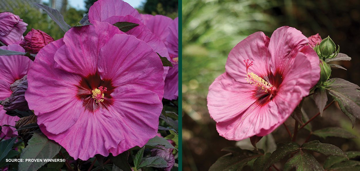 berry awesome hibiscus summerific dinner plate rose mallow large pink flowers perennials
