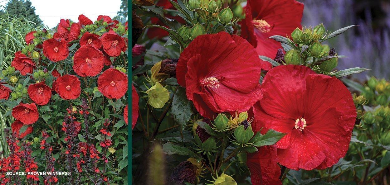 cranberry crush hibiscus summerific big red flower perennials