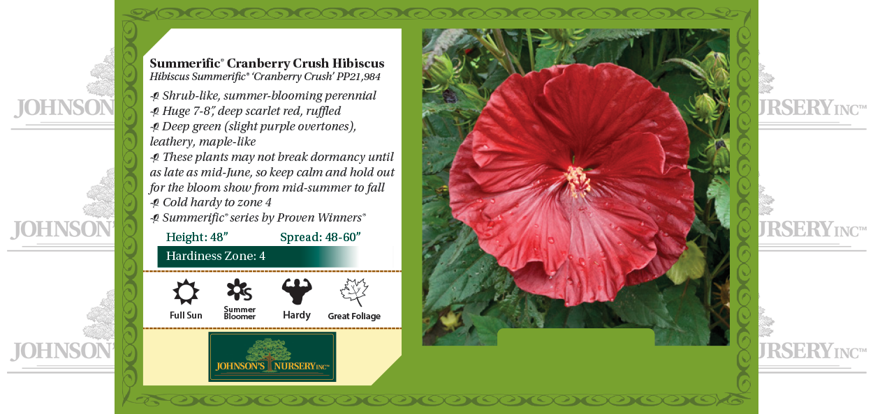 cranberry crush hibiscus summerific dinner plate rose mallow benchcard