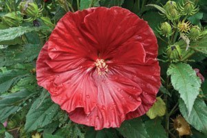 cranberry crush hibiscus summerific dinner plate rose mallow catalog