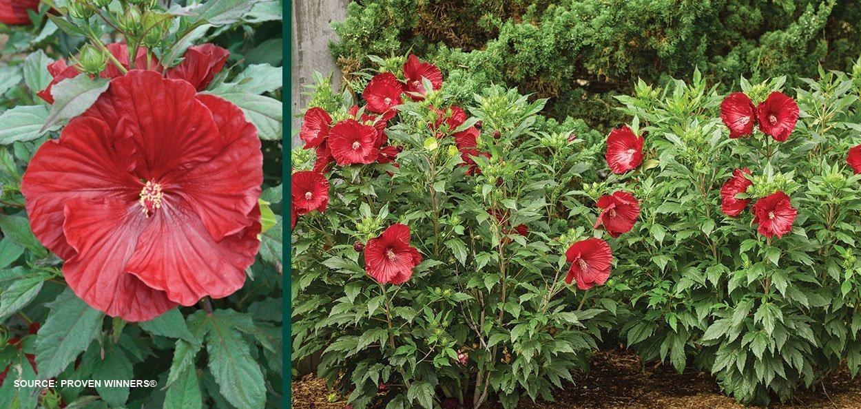cranberry crush hibiscus summerific dinner plate rose mallow find at johnson's nursery