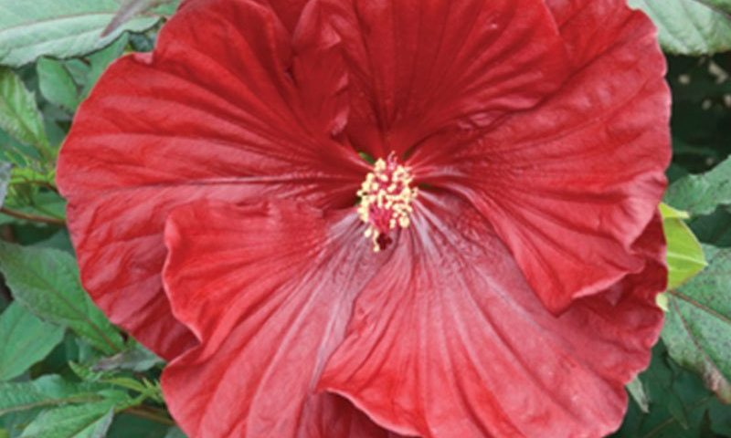 cranberry crush hibiscus summerific dinner plate rose mallow ftimg