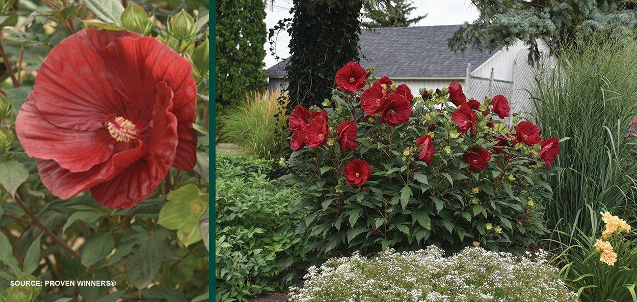 cranberry crush hibiscus summerific large red flowers shrub perennials near me