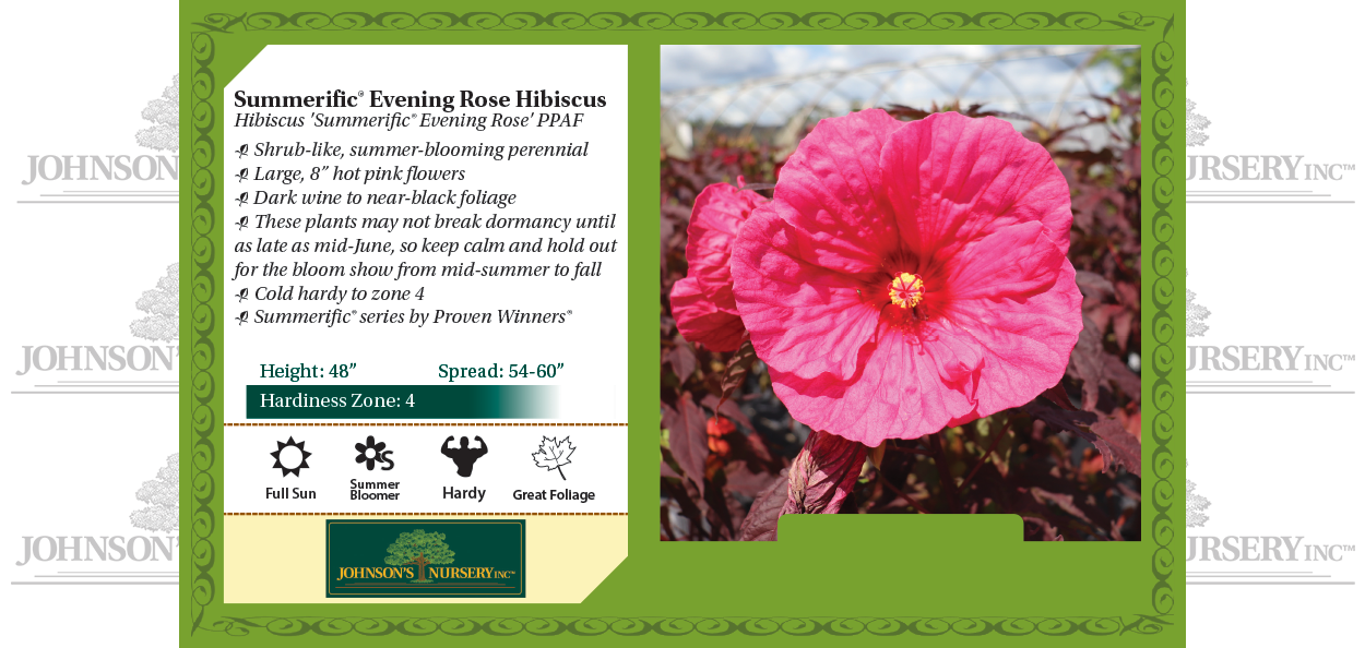 evening rose hibiscus summerific dinner plate rose mallow benchcard