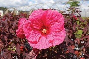 evening rose hibiscus summerific dinner plate rose mallow johnson's nursery catalog