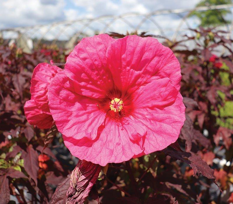 evening rose hibiscus summerific dinner plate rose mallow johnson's nursery ftimg