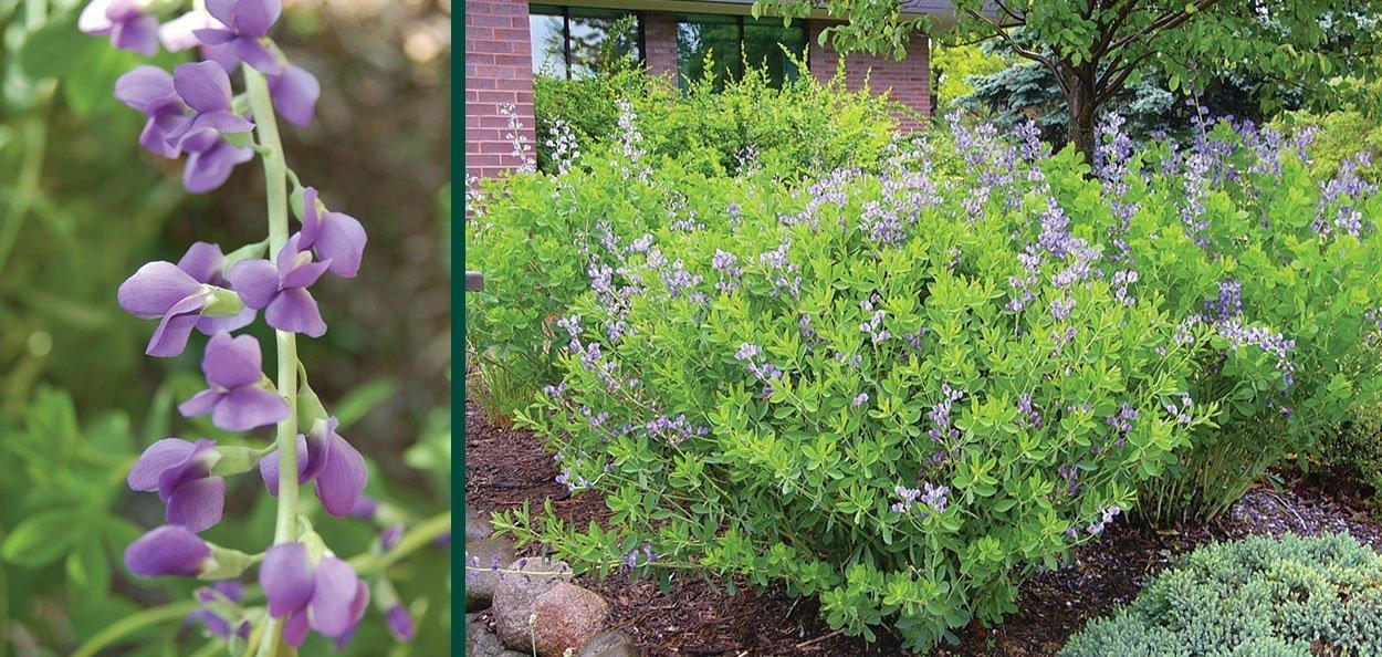 false blue indigo baptisia australis johnson's nursery wisconsin perennial plant