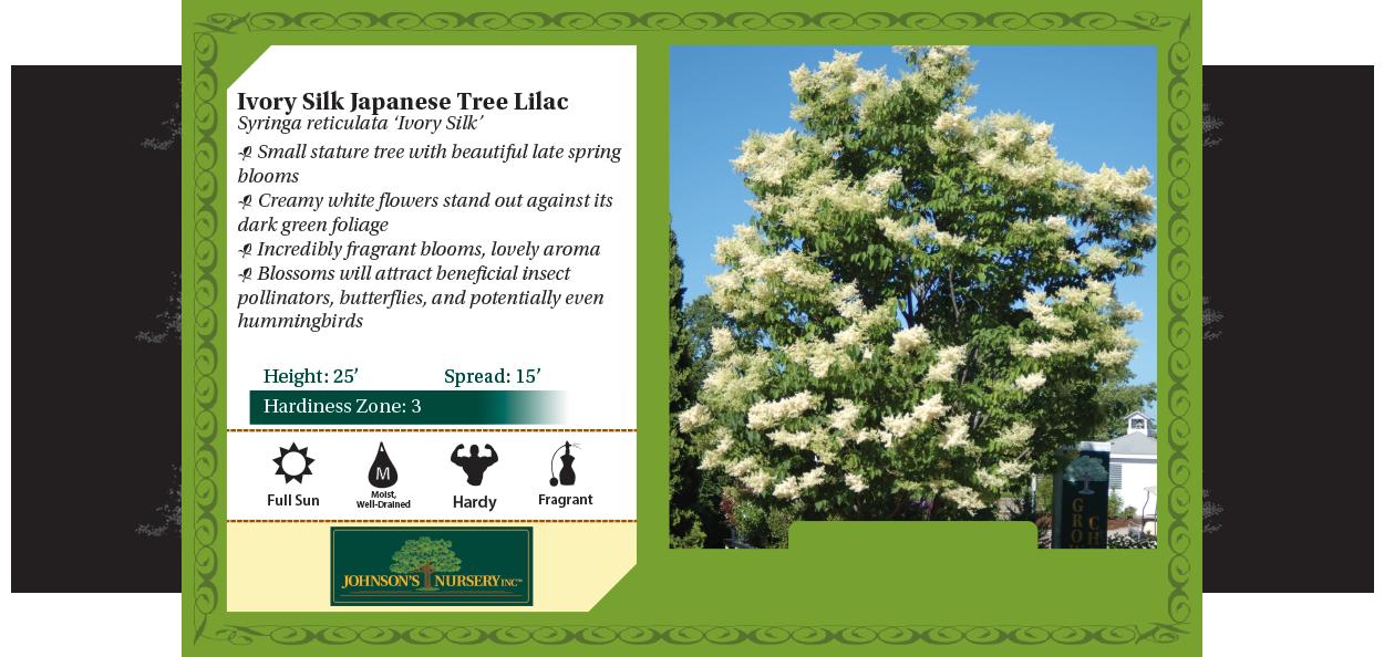 ivory silk japanese tee lilac syringa reticulata johnson's nursery benchcard