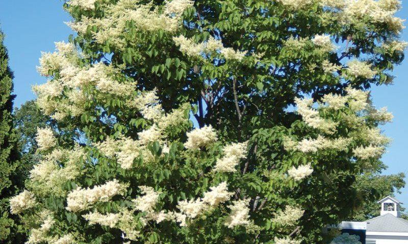 ivory silk japanese tee lilac syringa reticulata wisconsin ftimg