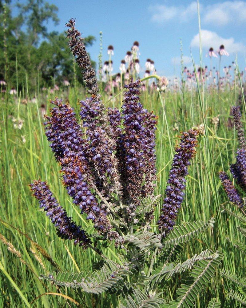 leadplant amorpha canescens wisconsin native prairie perennial flower ftimg
