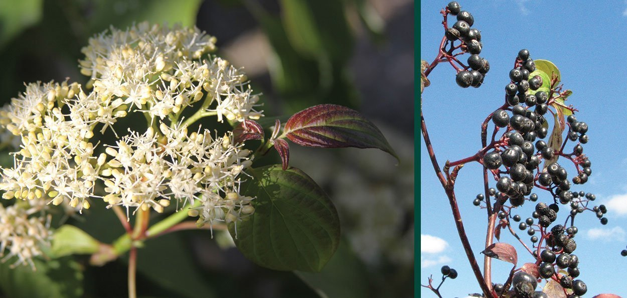 pagoda dogwood cornus alternifolia wisconsin native tree white flower black berry fruit