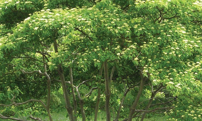 Pagoda Dogwood Knowledgebase Johnson S Nursery