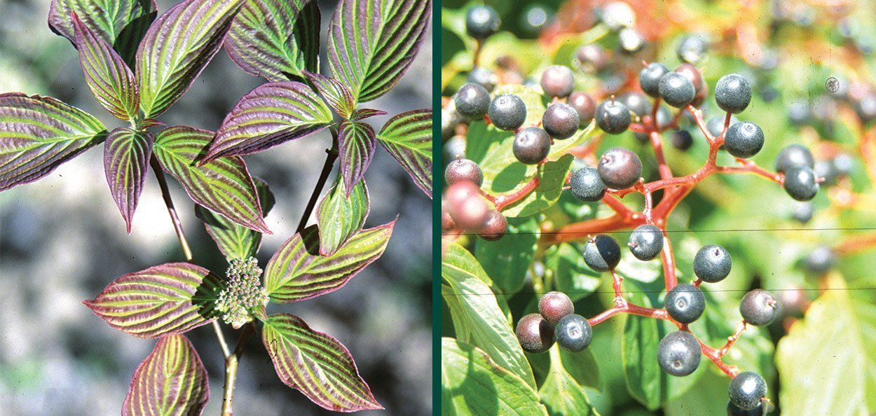 pagoda dogwood cornus alternifolia wisconsin native tree white maroon foliage black berry fruit