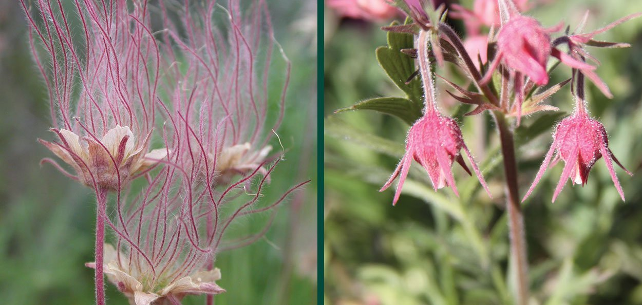 prairie smoke geum triflorum three flowered avens old man's whiskers 1