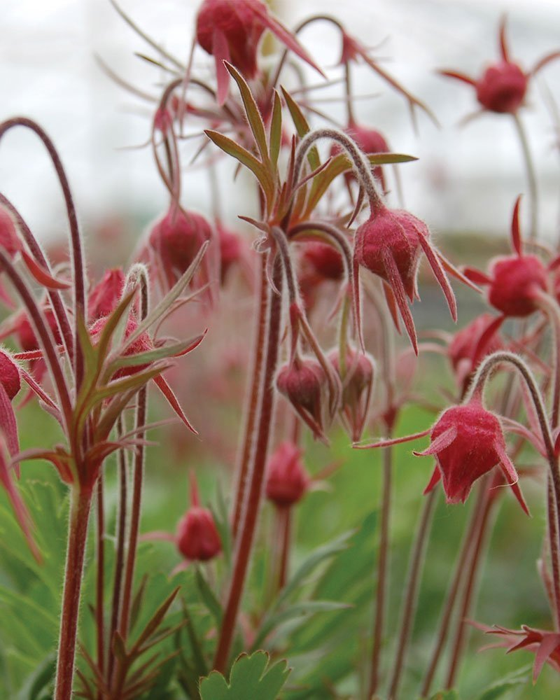 prairie smoke geum triflorum three flowered avens old man's whiskers ftimg