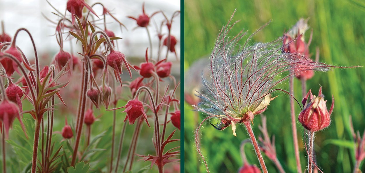 prairie smoke geum triflorum three flowered avens old man's whiskers
