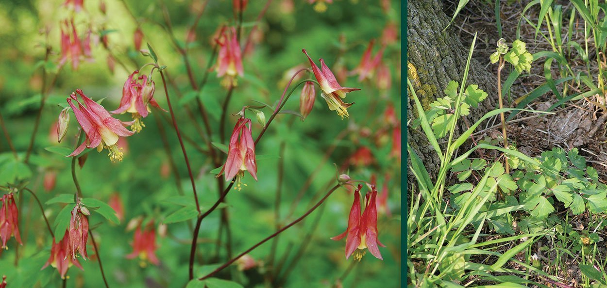 <br /> wild canadian columbine aquilegia canadensis johnson's nursery wisconsin native plants flower