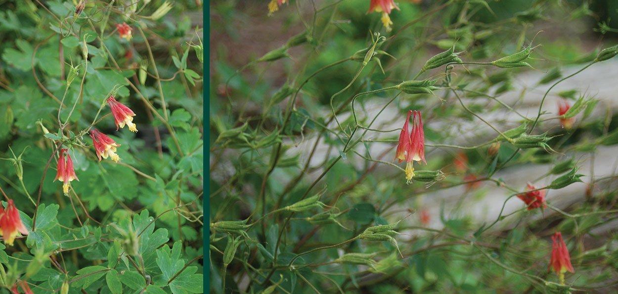 wild canadian columbine aquilegia canadensis johnson's nursery wisconsin native plants perrennial