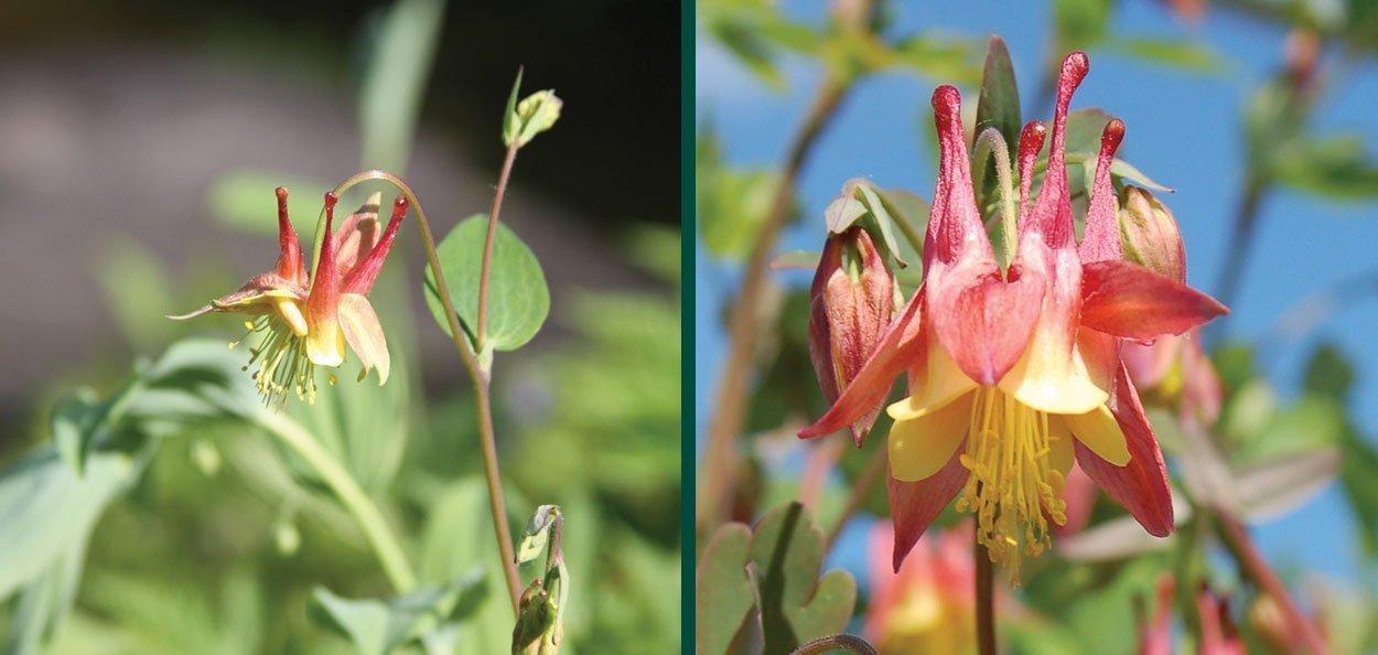 wild canadian columbine aquilegia canadensis johnson's nursery wisconsin native plants