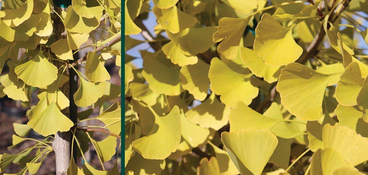 autumn gold ginkgo biloba yellow fall color shade urban asian garden tree