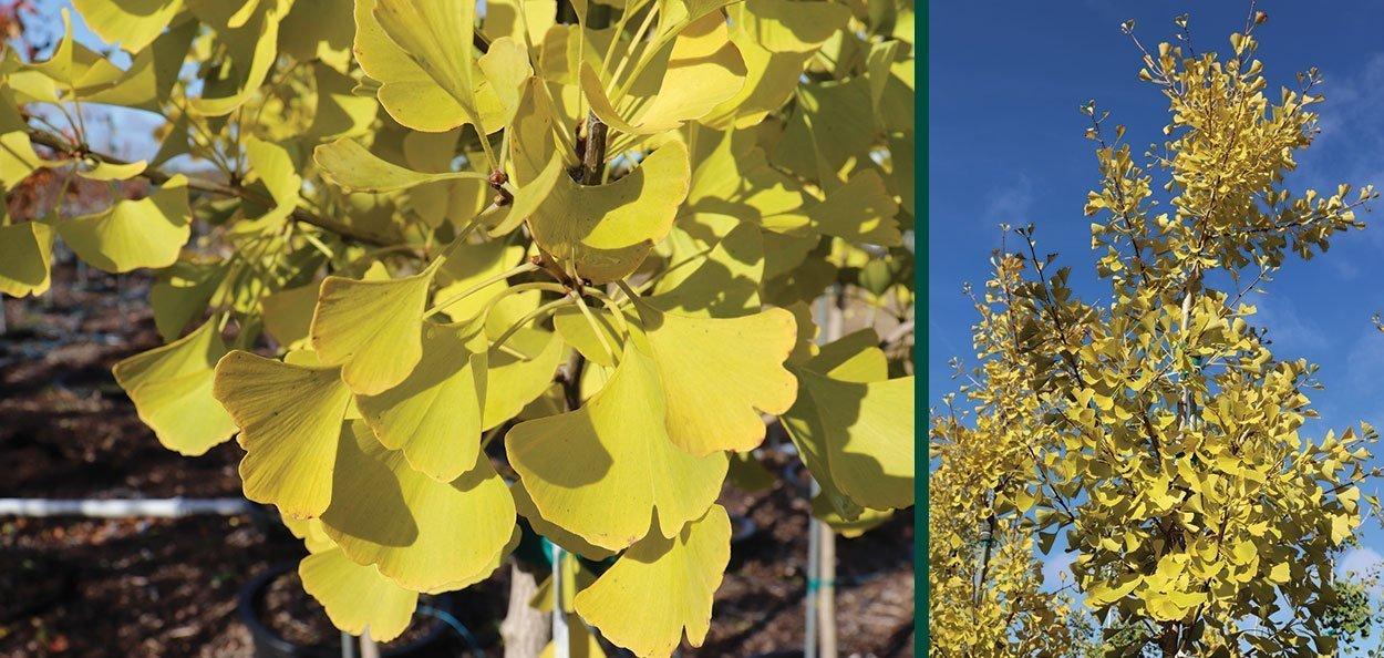 autumn gold ginkgo biloba yellow fall color shade urban japanese garden tree