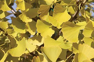 autumn gold ginkgo biloba yellow fall color tree interesting foliage catalog